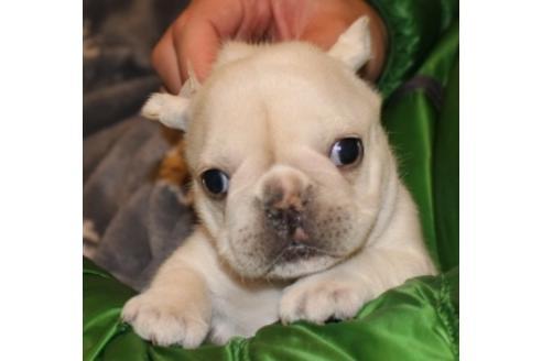 フレンチブルドッグの子犬(ID:1270511014)の1枚目の写真/更新日:2018-02-07