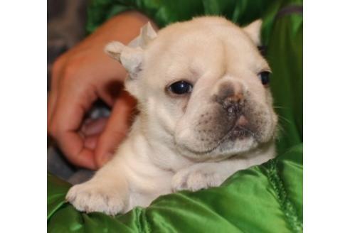 フレンチブルドッグの子犬(ID:1270511014)の2枚目の写真/更新日:2018-02-07