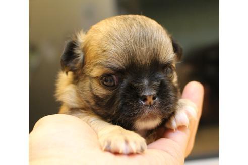 チワワ(ロング)の子犬(ID:1270511016)の1枚目の写真/更新日:2019-05-09