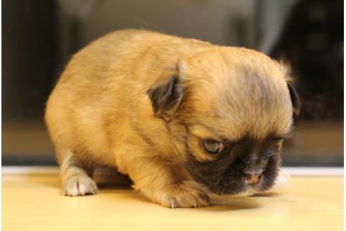 チワワ(ロング)の子犬(ID:1270511016)の2枚目の写真/更新日:2018-02-22