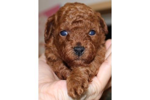トイプードルの子犬(ID:1270511017)の1枚目の写真/更新日:2018-04-20
