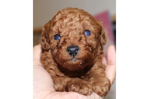 トイプードルの子犬(ID:1270511018)の1枚目の写真/更新日:2018-04-20
