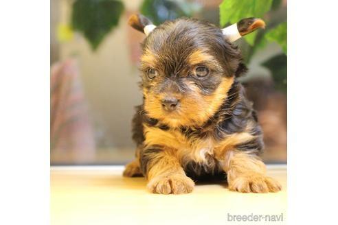 ヨークシャーテリアの子犬(ID:1270511019)の1枚目の写真/更新日:2018-05-05