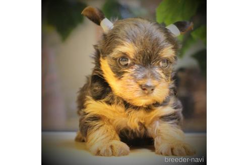 ヨークシャーテリアの子犬(ID:1270511019)の2枚目の写真/更新日:2018-05-05