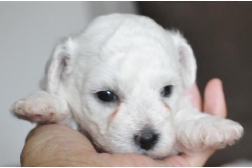 ビションフリーゼの子犬(ID:1270511020)の1枚目の写真/更新日:2018-08-20