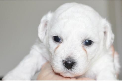 ビションフリーゼの子犬(ID:1270511020)の2枚目の写真/更新日:2018-08-20