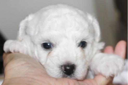 ビションフリーゼの子犬(ID:1270511021)の1枚目の写真/更新日:2018-08-20