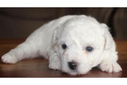 ビションフリーゼの子犬(ID:1270511021)の2枚目の写真/更新日:2018-08-20