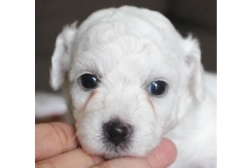 ビションフリーゼの子犬(ID:1270511022)の1枚目の写真/更新日:2018-08-20