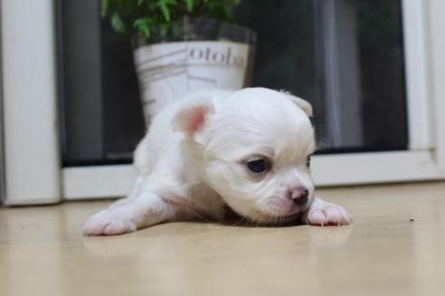 チワワ(ロング)の子犬(ID:1270511024)の2枚目の写真/更新日:2018-11-02