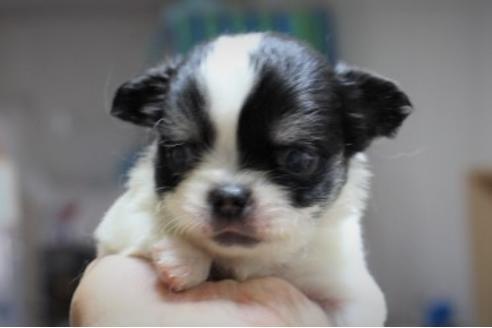 チワワ(ロング)の子犬(ID:1270511025)の1枚目の写真/更新日:2018-11-02