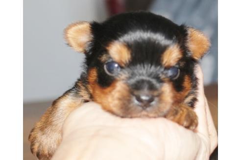 チワワ(ロング)の子犬(ID:1270511026)の1枚目の写真/更新日:2018-11-05