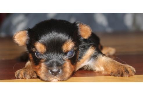 チワワ(ロング)の子犬(ID:1270511026)の2枚目の写真/更新日:2018-11-05