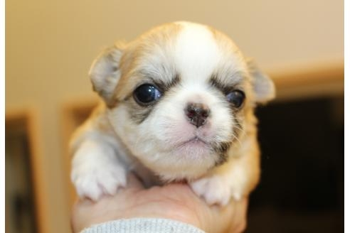 チワワ(ロング)の子犬(ID:1270511029)の1枚目の写真/更新日:2018-11-09