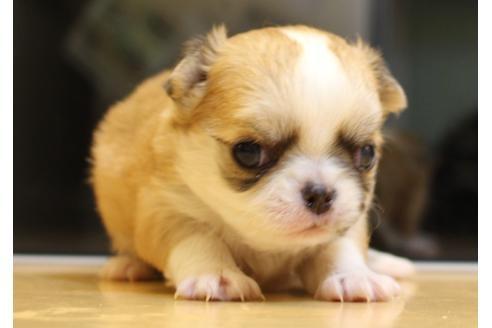 チワワ(ロング)の子犬(ID:1270511029)の2枚目の写真/更新日:2018-11-09