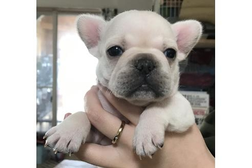 フレンチブルドッグの子犬(ID:1270511032)の1枚目の写真/更新日:2019-02-07