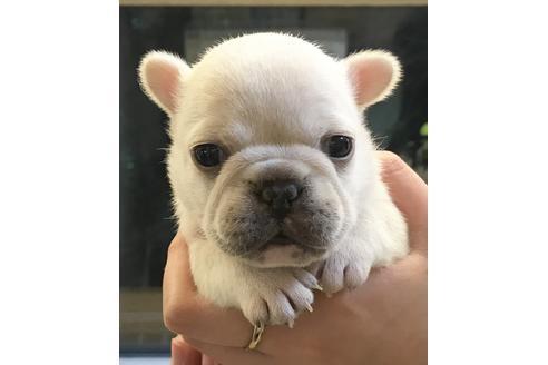 フレンチブルドッグの子犬(ID:1270511033)の1枚目の写真/更新日:2019-02-07