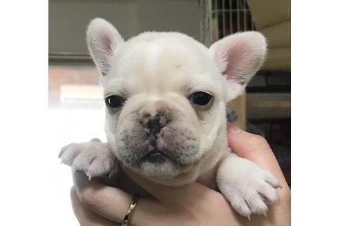 フレンチブルドッグの子犬(ID:1270511034)の1枚目の写真/更新日:2019-02-18
