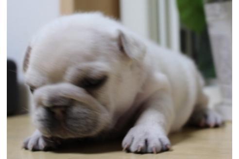 フレンチブルドッグの子犬(ID:1270511035)の2枚目の写真/更新日:2019-07-30