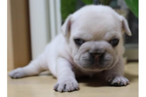 フレンチブルドッグの子犬(ID:1270511035)の3枚目の写真/更新日:2019-07-30