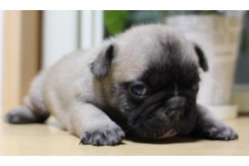 フレンチブルドッグの子犬(ID:1270511037)の2枚目の写真/更新日:2019-07-30