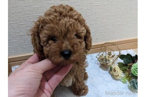 トイプードルの子犬(ID:1270611001)の1枚目の写真/更新日:2017-12-08