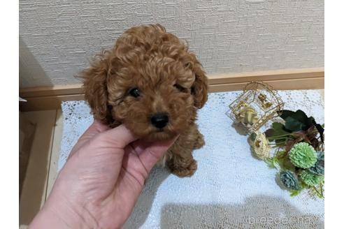 トイプードルの子犬(ID:1270611001)の2枚目の写真/更新日:2017-11-11