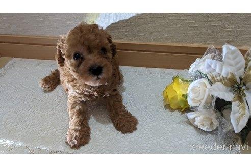 トイプードルの子犬(ID:1270611002)の1枚目の写真/更新日:2017-10-27