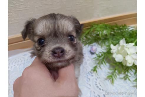 チワワ(ロング)の子犬(ID:1270611003)の1枚目の写真/更新日:2018-06-08