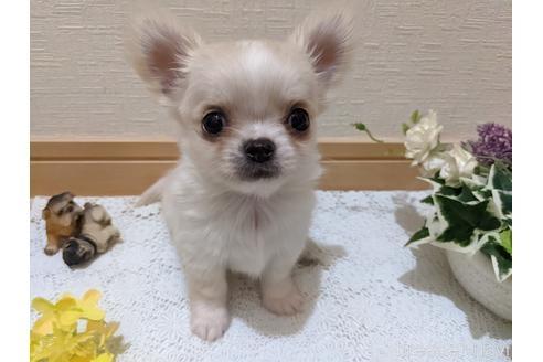 チワワ(ロング)の子犬(ID:1270611005)の1枚目の写真/更新日:2018-06-08