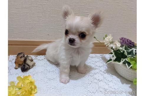 チワワ(ロング)の子犬(ID:1270611005)の3枚目の写真/更新日:2021-04-09