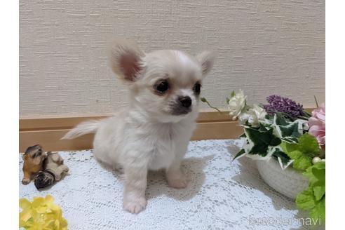 チワワ(ロング)の子犬(ID:1270611005)の4枚目の写真/更新日:2021-04-09