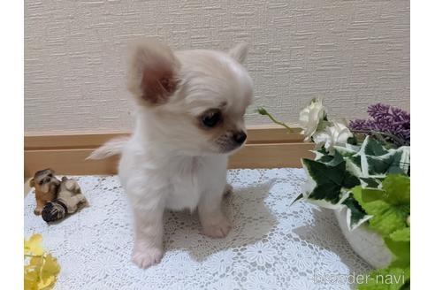 チワワ(ロング)の子犬(ID:1270611005)の5枚目の写真/更新日:2021-04-09