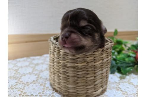 チワワ(ロング)の子犬(ID:1270611006)の1枚目の写真/更新日:2020-12-22