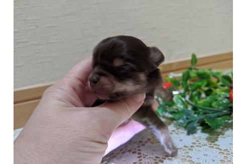 チワワ(ロング)の子犬(ID:1270611006)の3枚目の写真/更新日:2020-12-22