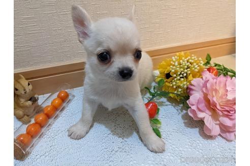 チワワ(ロング)の子犬(ID:1270611007)の1枚目の写真/更新日:2021-03-14
