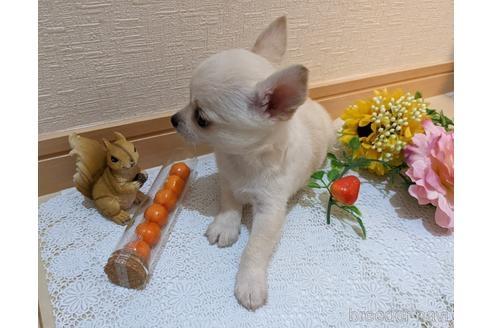 チワワ(ロング)の子犬(ID:1270611007)の2枚目の写真/更新日:2021-03-14