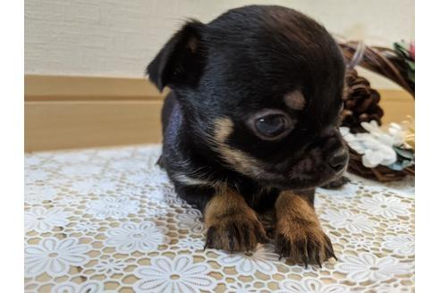 チワワ(ロング)の子犬(ID:1270611008)の1枚目の写真/更新日:2019-01-17