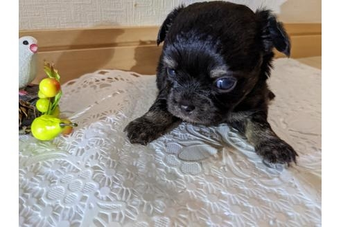 チワワ(ロング)の子犬(ID:1270611009)の3枚目の写真/更新日:2019-01-17