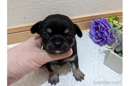 チワワ(ロング)の子犬(ID:1270611010)の2枚目の写真/更新日:2021-01-08