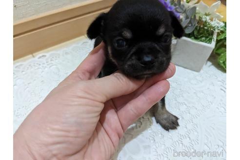 チワワ(ロング)の子犬(ID:1270611010)の4枚目の写真/更新日:2021-01-08