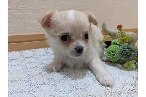 チワワ(ロング)の子犬(ID:1270611015)の1枚目の写真/更新日:2020-09-19