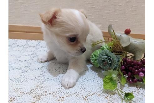チワワ(ロング)の子犬(ID:1270611015)の2枚目の写真/更新日:2020-09-19