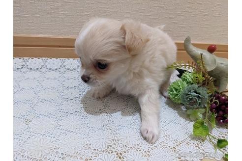 チワワ(ロング)の子犬(ID:1270611015)の3枚目の写真/更新日:2020-09-19
