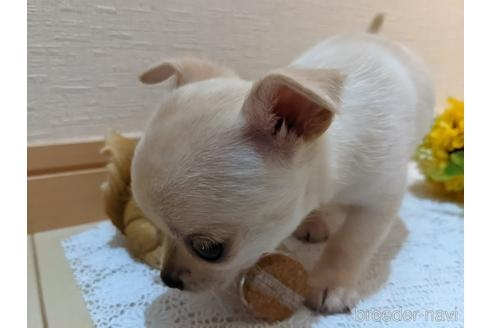 チワワ(ロング)の子犬(ID:1270611015)の4枚目の写真/更新日:2020-09-19