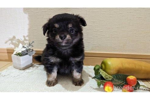 チワワ(スムース)の子犬(ID:1270611018)の1枚目の写真/更新日:2020-11-13