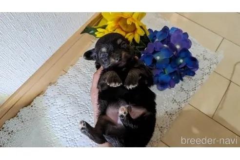 チワワ(スムース)の子犬(ID:1270611018)の2枚目の写真/更新日:2020-11-13