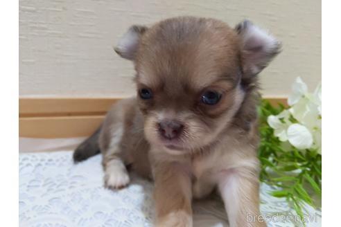チワワ(ロング)の子犬(ID:1270611019)の5枚目の写真/更新日:2021-10-15