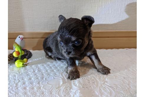 チワワ(スムース)の子犬(ID:1270611020)の1枚目の写真/更新日:2020-11-09