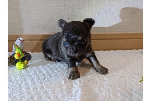 チワワ(ロング)の子犬(ID:1270611020)の4枚目の写真/更新日:2021-05-31